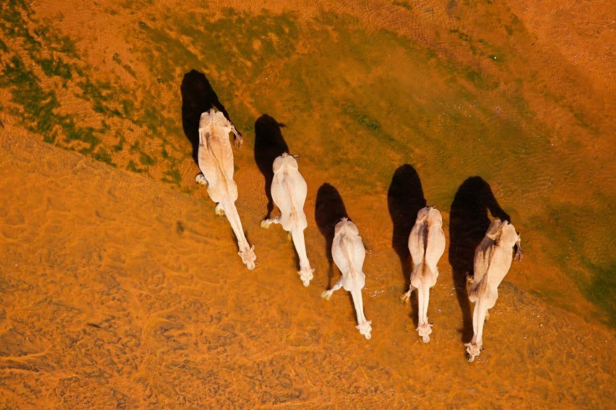 Dromedare in Nordkenia