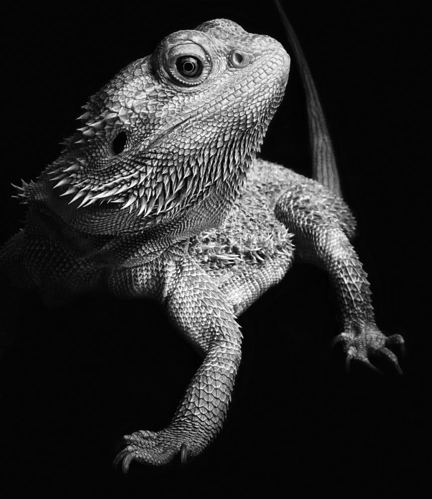 Reptil mit beäugt den Fotografen mit abgewandtem Kopf