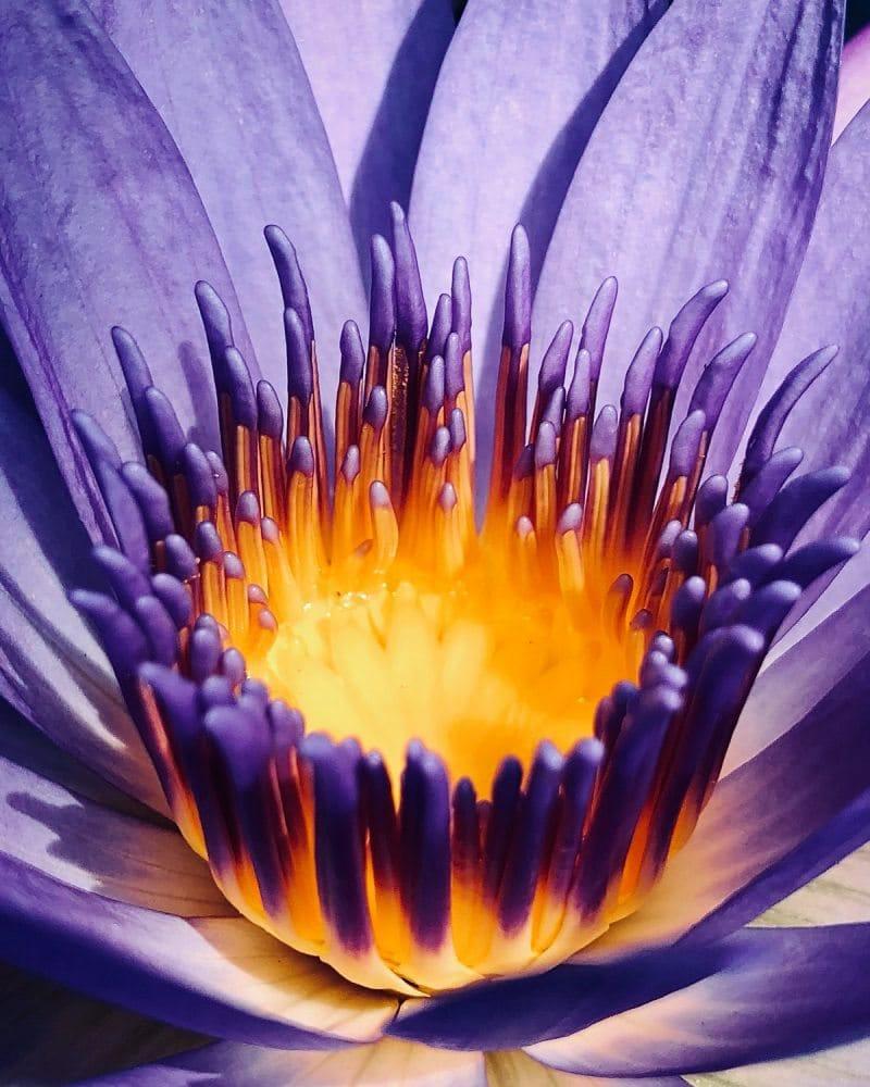 Blüte einer violetten Blume in Nahaufnahme